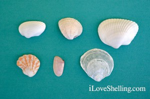 6 Six most common shells on Sanibel Florida