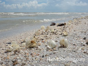Dosinia shells on a Sanibel beach