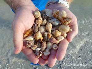 Evening on Sanibel shell collection