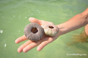 Finding Sea Urchins in Sw Florida