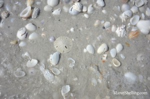 Sand dollar in seashells on Sanibel Island