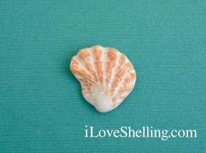 Sanibel common kittens paw shell Plicatula gibbosa