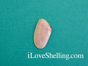 Sanibel common shell coquina Donax variabilis