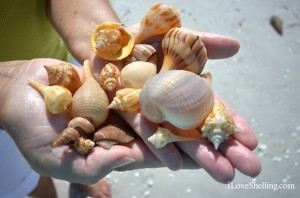 Shells found at gulf side city park on Sanibel Island Florida
