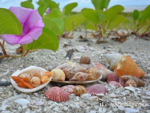 Shells with railroad vine purple flowers on Sanibel