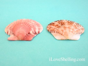 calico and atlantic bay scallop difference