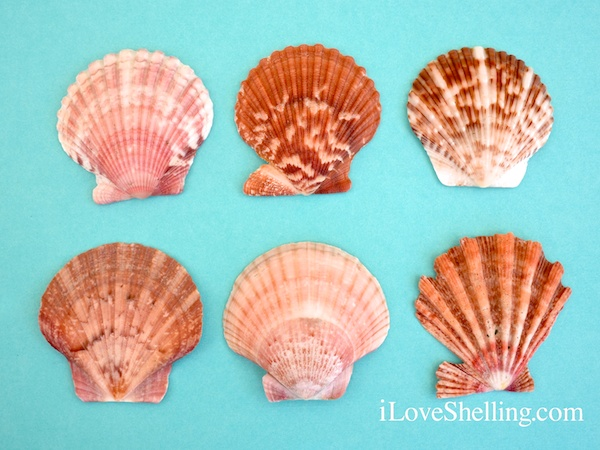 Different Scallop Shells Of SouthWest Florida