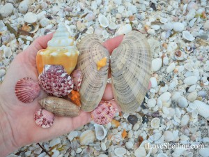 candy corn shells on Sanibel beach