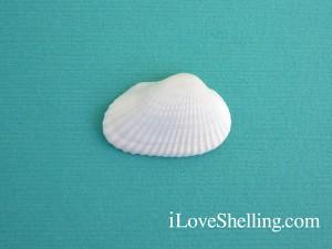 ark shell Anadara transversa