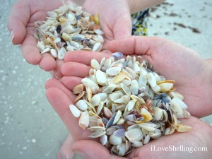 coquina shells found on a Sanibel Island beach