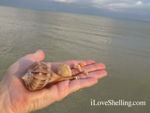 fave shells collected on Sanibel