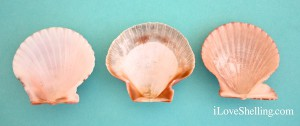 interior difference between calico zigzag rough scallops