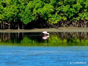 roseate spoonbill Estero Bay