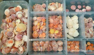 sorting florida scallops