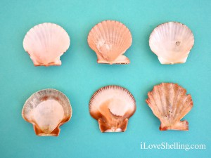 sw florida scallop interiors