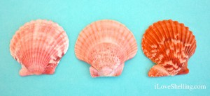 the difference between calico zigzag and rough scallops