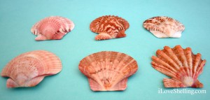 the difference between scallops