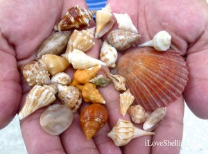 Alicia's one hour September Sanibel shell collection