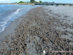 Blind Pass Sanibel beach covered in sea squirts