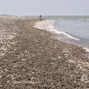 Sanibel beach with strandings of Sandy skinned tunicates