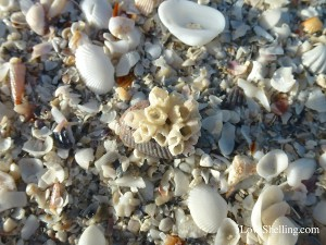 Sanibel barnacle among shells on the beach