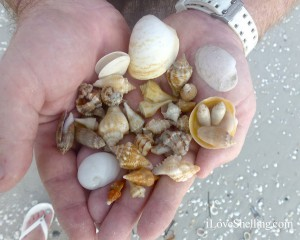 September evening Sanibel seashell collection