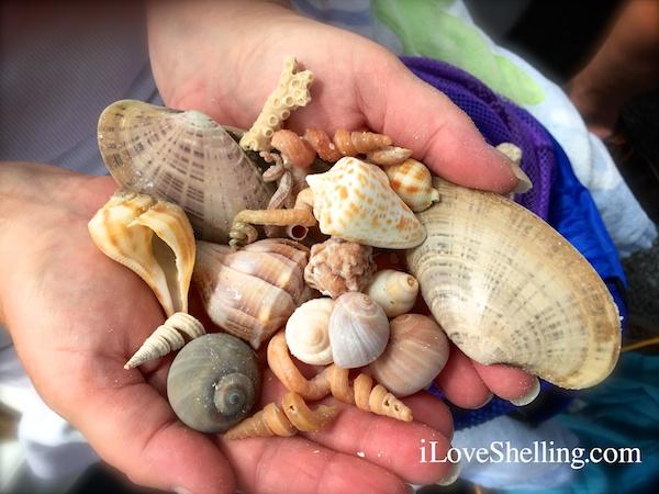 Shells found on Big Hickory Island, Bonita Florida