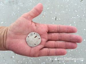 sand dollar in the palm of a hand
