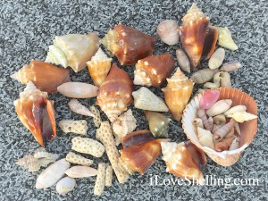 seashells and coral shelling on Big Hickory Island Florida