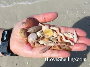 shells collected on Big Hickory Island