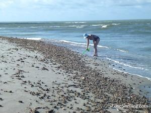 sifting through beach drift sea squirts Sanibel Island Flordia