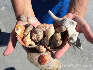 Annette's Florida shells