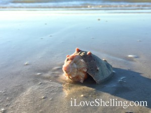 Conch shell on Sanibel