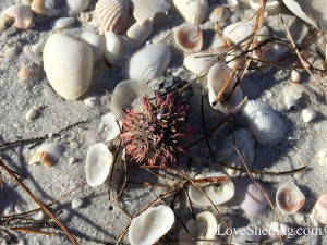Florida purple sea urchin