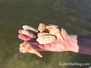 snorkeling for shells