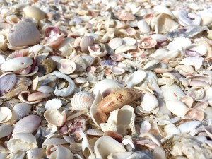 Lettered Olive in a pile of clam shells
