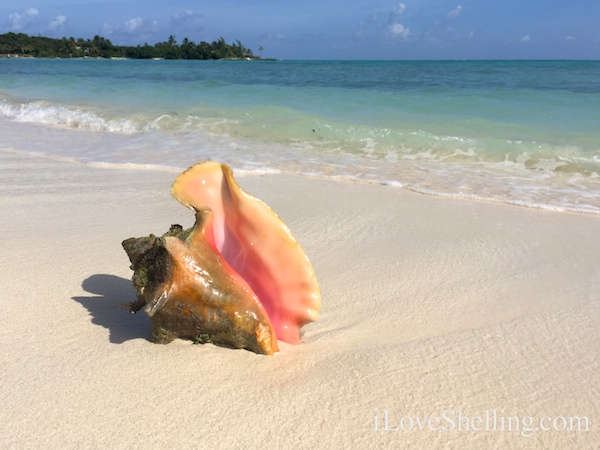 Pink conch on a sandy beach in Abaco Bahamas