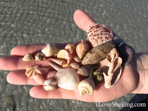 Stacy's shells
