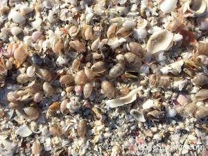 bubble shells wash up on Sanibel