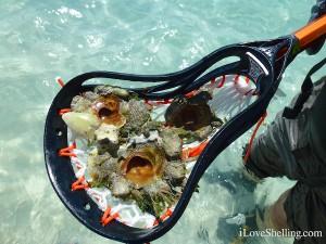 carrier shells Xenophoridae Abaco Bahamas