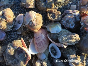 double sunray venus clam shell in sea squirts