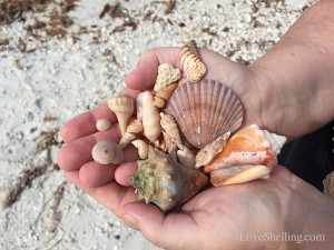 found shells on sw florida beach