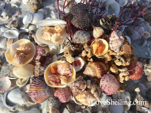 horse conchs with shells