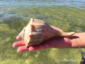 large whelk in Cayo Costa