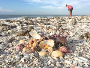 shells on the beach at Sanibel Island October 2014