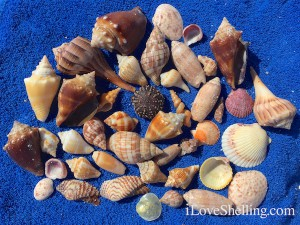 Beach combing shells on Sanibel November
