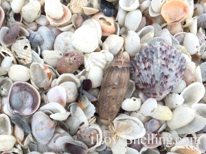Sanibel shell on shells