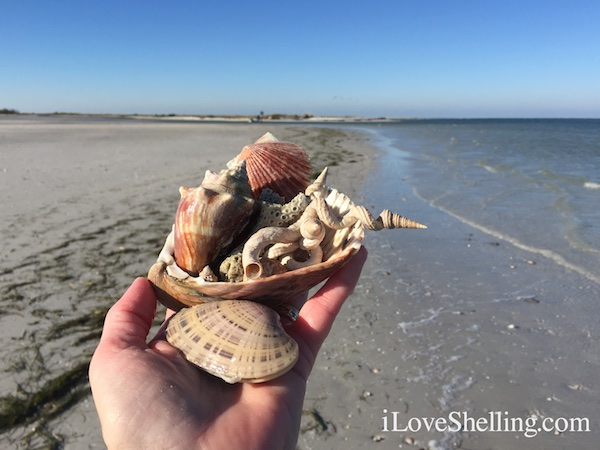 Worm shells coral conchs sun ray venus Clearwater Beach