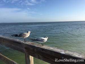 birds on Sanibel Pier