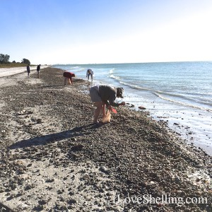 combing Sanibel beaches